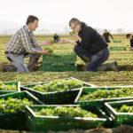 frischer Feldsalat vom Kaiserstuhl